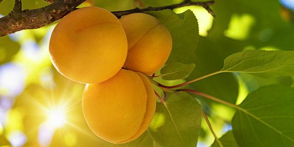 Βερίκοκο, ένα φρούτο που αξίζει να τρώμε καθημερινά